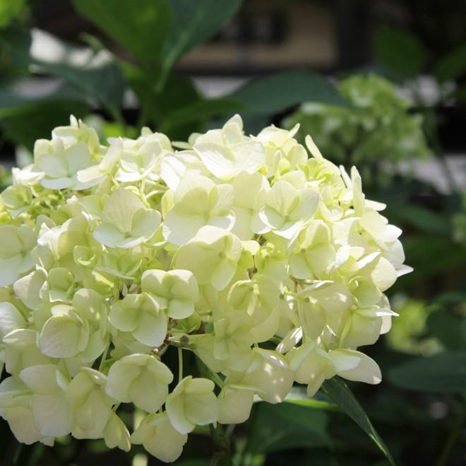 北鎌倉には多くの紫陽花の名所があります